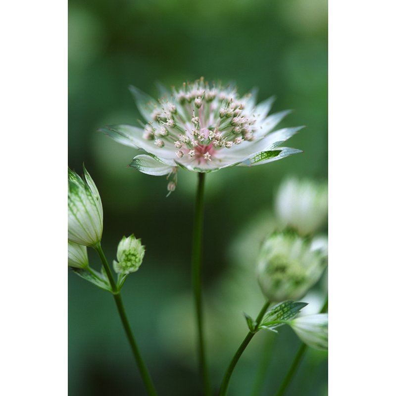 staude astrantia major gro e sterndolde jetzt g nstig kaufen. Black Bedroom Furniture Sets. Home Design Ideas