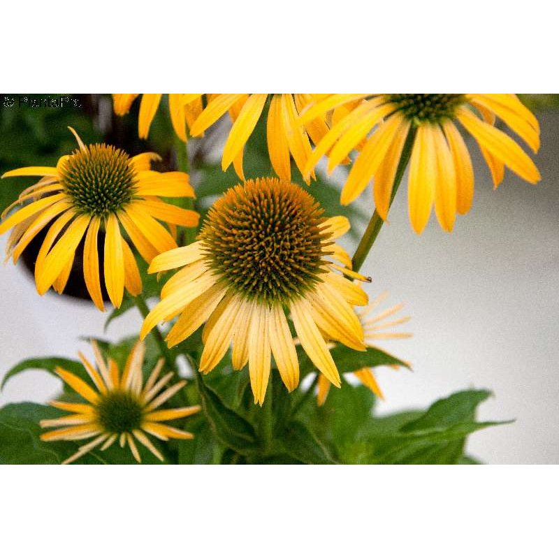 echinacea purpurea 39 harvest moon 39 scheinsonnenhut. Black Bedroom Furniture Sets. Home Design Ideas