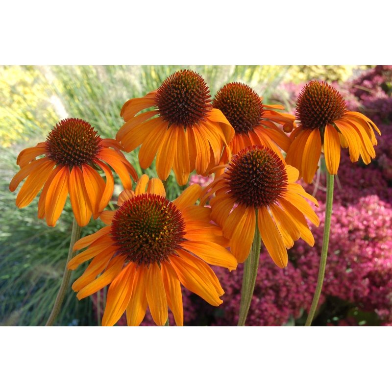echinacea purpurea 39 tiki torch 39 scheinsonnenhut g nstig. Black Bedroom Furniture Sets. Home Design Ideas