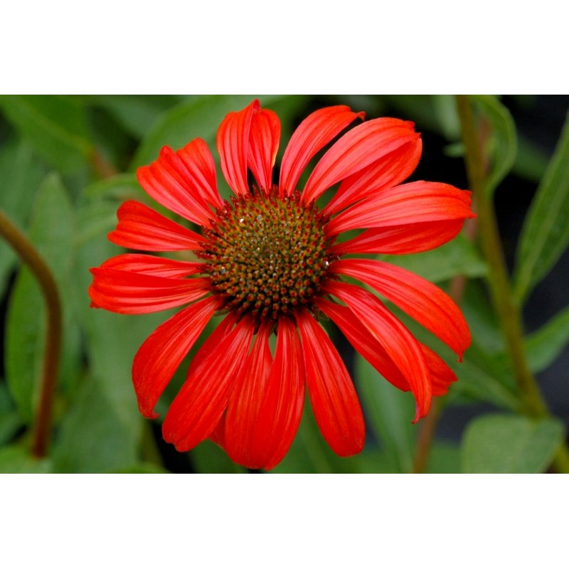 echinacea purpurea 39 tomato soup 39 scheinsonnenhut g nstig. Black Bedroom Furniture Sets. Home Design Ideas