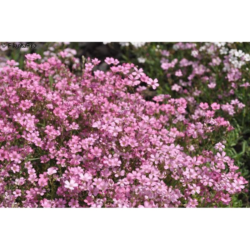Repens Rosea Gypsophila images