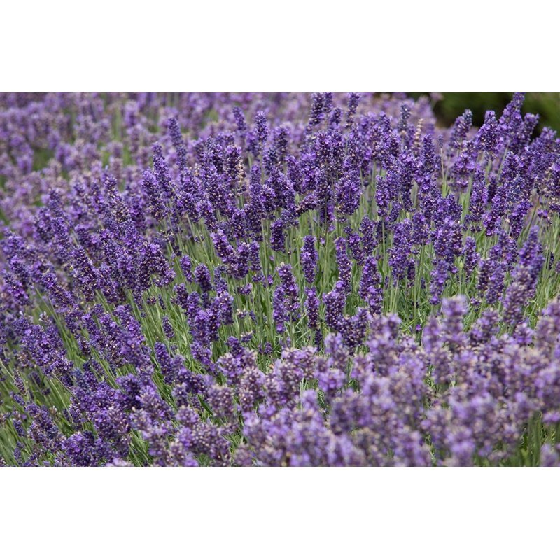 lavandula angustifolia 39 hidcote blue 39 lavendel g nstig kaufen. Black Bedroom Furniture Sets. Home Design Ideas
