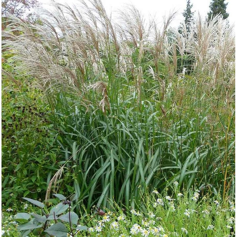 miscanthus sinensis 39 malepartus 39 chinaschilf landschilf. Black Bedroom Furniture Sets. Home Design Ideas