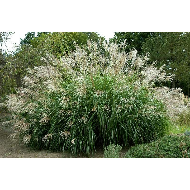 miscanthus sinensis 39 silberfeder 39 chinaschilf landschilf kaufen. Black Bedroom Furniture Sets. Home Design Ideas