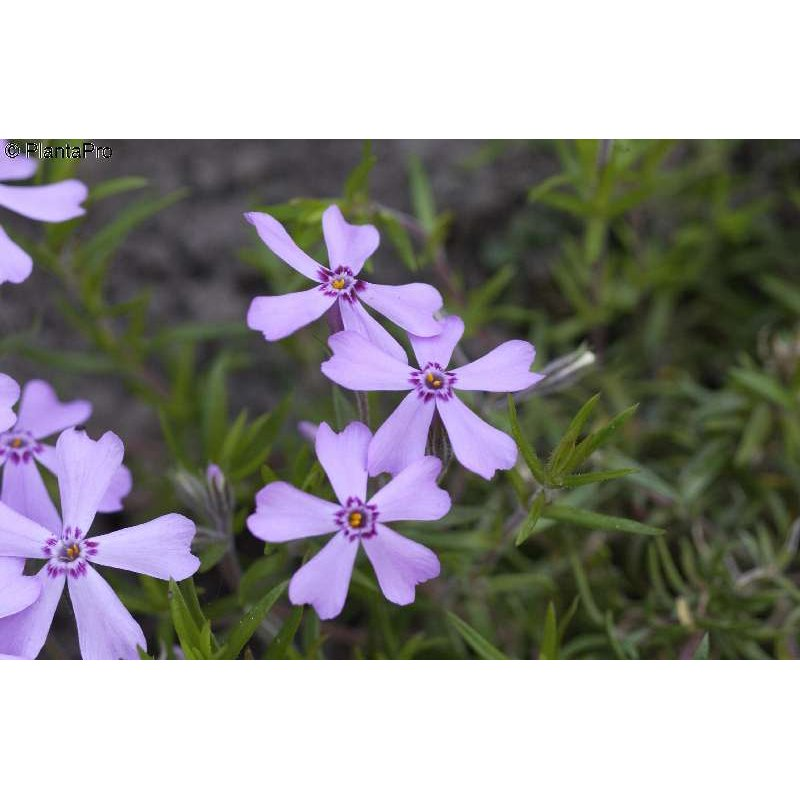 phlox subulata 39 moerheimii 39 teppich flammenblume g nstig. Black Bedroom Furniture Sets. Home Design Ideas