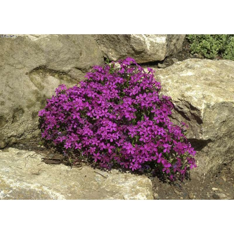 phlox subulata 39 temiskaming 39 teppich flammenblume. Black Bedroom Furniture Sets. Home Design Ideas