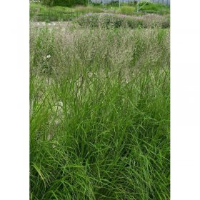 calamagrostis x acutiflora 39 karl foerster 39 reitgras sandrohr. Black Bedroom Furniture Sets. Home Design Ideas