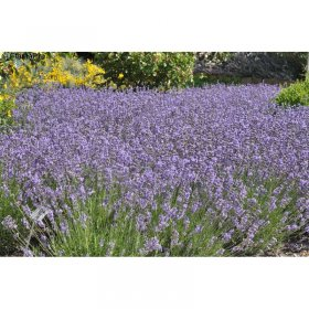lavandula angustifolia 39 munstead 39 lavendel jetzt g nstig kaufen. Black Bedroom Furniture Sets. Home Design Ideas