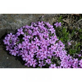 phlox subulata 39 atropurpurea 39 teppich flammenblume. Black Bedroom Furniture Sets. Home Design Ideas