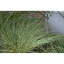 Carex albula Frosted Curls (Segge)