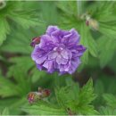 Geranium himalayense Birch Double (Storchschnabel)