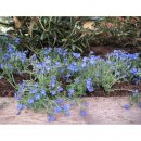Lithodora diffusa Heavenly Blue (Scheinsteinsame)