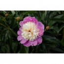 Paeonia hybrida Dancing Butterfly (Pfingstrose)