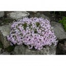 Phlox subulata Candy Stripes (Teppich-Flammenblume)