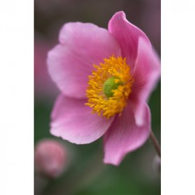 Anemone hupehensis September Charm (Herbst-Anemone)