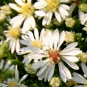 Aster diffusus Snow Flurry (Teppich-Aster)