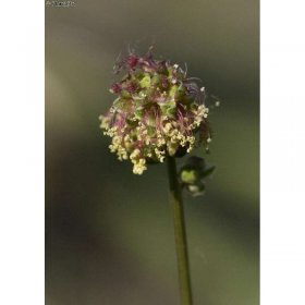 Sanguisorba minor (Kleiner Wiesenknopf)